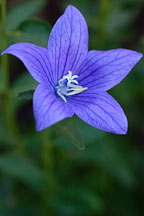 Platycodon grandiflorus. Balloon flower. - Photo #1914