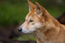 Profile view of a Dingo. Canis familiaris dingo. Australian wild dog. - Photo #1602