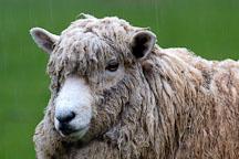 Sheep. Churchill Island, Australia. - Photo #1506
