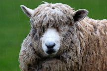 Sheep in the rain. Churchill Island, Australia. - Photo #1505