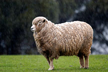 Sheep standing in the rain. Churchill Island, Australia. - Photo #1507
