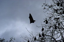 Grey headed flying foxes. Pteropus poliocephalus. Royal Botanical Gardens, Sydney, Australia. - Photo #1685