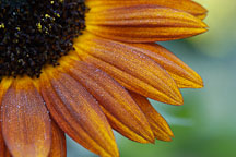 Sunflower 'Velvet Queen'. Helianthus annuus. - Photo #1962