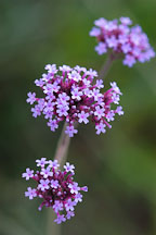 Verbena bonariensis. - Photo #1337