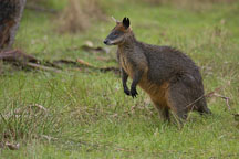 Wallaby. Australia. - Photo #1661