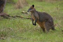 Wallaby. Australia. - Photo #1661