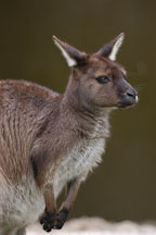 Wallaby. Australia. - Photo #1662