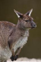 Wallaby. Australia. - Photo #1662