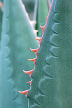 Agave teeth imprint. - Photo #703