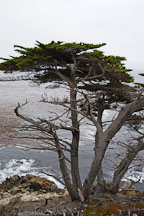 Monterey cypress. 17-Mile drive, California, USA. - Photo #4803
