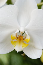 Phalaenopsis. Orchid. Orchidaceae. - Photo #3503