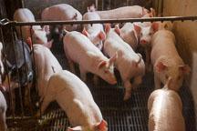 Huddling nursery pigs. ISU Swine Farm. Ames, Iowa. - Photo #32230