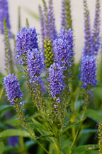 Veronica spicata 'Blue Charm'. Spiked Speedwell. - Photo #1330