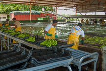Workers at a banana plantation. Costa Rica. - Photo #14130