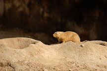 Black-tailed Prairie Dog by the entrance to its burrow. - Photo #2531