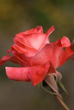 Hybrid tea, Brigadoon. Rose. - Photo #12531