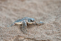 Newly hatched baby Atlantic Green Sea Turtle struggles to reach the ocean. Tortuguero, Costa Rica. - Photo #14031