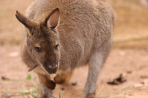 Bennett's wallaby. Red-necked wallaby. Micropus rufogiseus. - Photo #5431