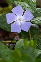 Vinca major. Greater periwinkle. - Photo #2831