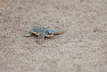 Baby Atlantic Green Sea Turtle heads to the ocean. Tortuguero, Costa Rica. - Photo #14032