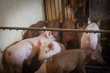 Nursery pigs. ISU Swine Farm. Ames, Iowa. - Photo #32232