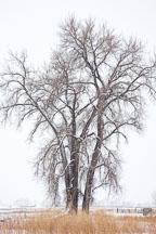 Tree in winter. Boulder, Colorado. - Photo #33132