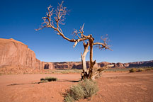 Weathered tree. Monument Valley, Arizona. - Photo #18832