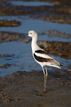 American avocet, Recurvirostra americana. Palo Alto Baylands Nature Preserve, California. - Photo #2533