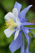 Rocky mountain columbine. Aquilegia. - Photo #3733