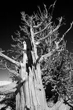 Pictures of Bristlecone Pines