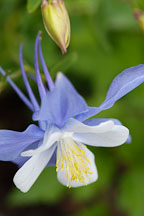 Columbine, Aquilegia - Photo #3734