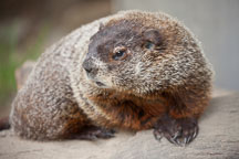 Groundhog. - Photo #33098