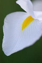 Petal of Dutch Iris, 'White wedgewood'. - Photo #3235