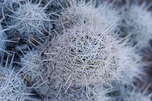 Escobaria tuberculosa, Mammillaria tuberculosa - Photo #5335