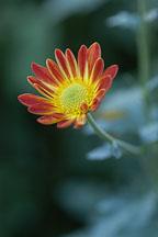 Spicy New Orleans (single & semi-double). Chrysanthemum (Dendranthema). - Photo #2135