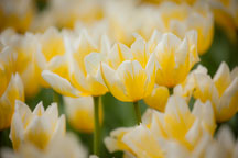 Yellow and white tulips in Pella, Iowa. - Photo #32535