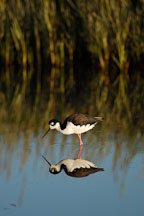 Black-necked stilt, Himantopus mexicanus. Palo Alto Baylands Nature Preserve, California. - Photo #1736