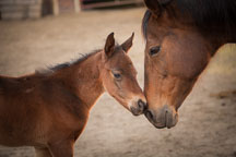 Foal and mother horse touching noses. Iowa State University horse barn. - Photo #32336