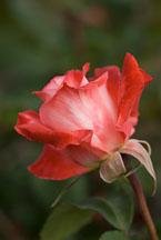 Hybrid tea, Brigadoon. Rose. - Photo #12536