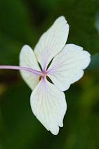 Hydrangea macrophylla. Big-leaf hydrangea. - Photo #4436