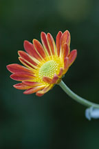 Spicy New Orleans (single & semi-double). Chrysanthemum (Dendranthema). - Photo #2136