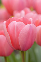Tulip, 'Pink Impression'. Tulipa. - Photo #5736