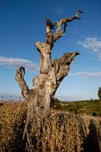 Twisted tree. Arastradero preserve, California, USA. - Photo #7836