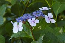 Hydrangea macrophylla. Big-leaf hydrangea. - Photo #4437