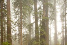 Morning mist in Lady Bird Johnson Grove. Redwood National Park, California. - Photo #28837