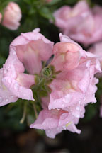 Antirrhinum majus. Sonnet Pink Snapdragon. - Photo #2337