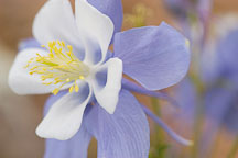 Columbine, Aquilegia - Photo #3738