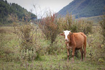 Free ranging cow in Phobjikha Valley. - Photo #23838