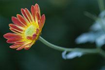 Spicy New Orleans (single & semi-double). Chrysanthemum (Dendranthema). - Photo #2138
