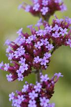 Verbena bonariensis. - Photo #1338